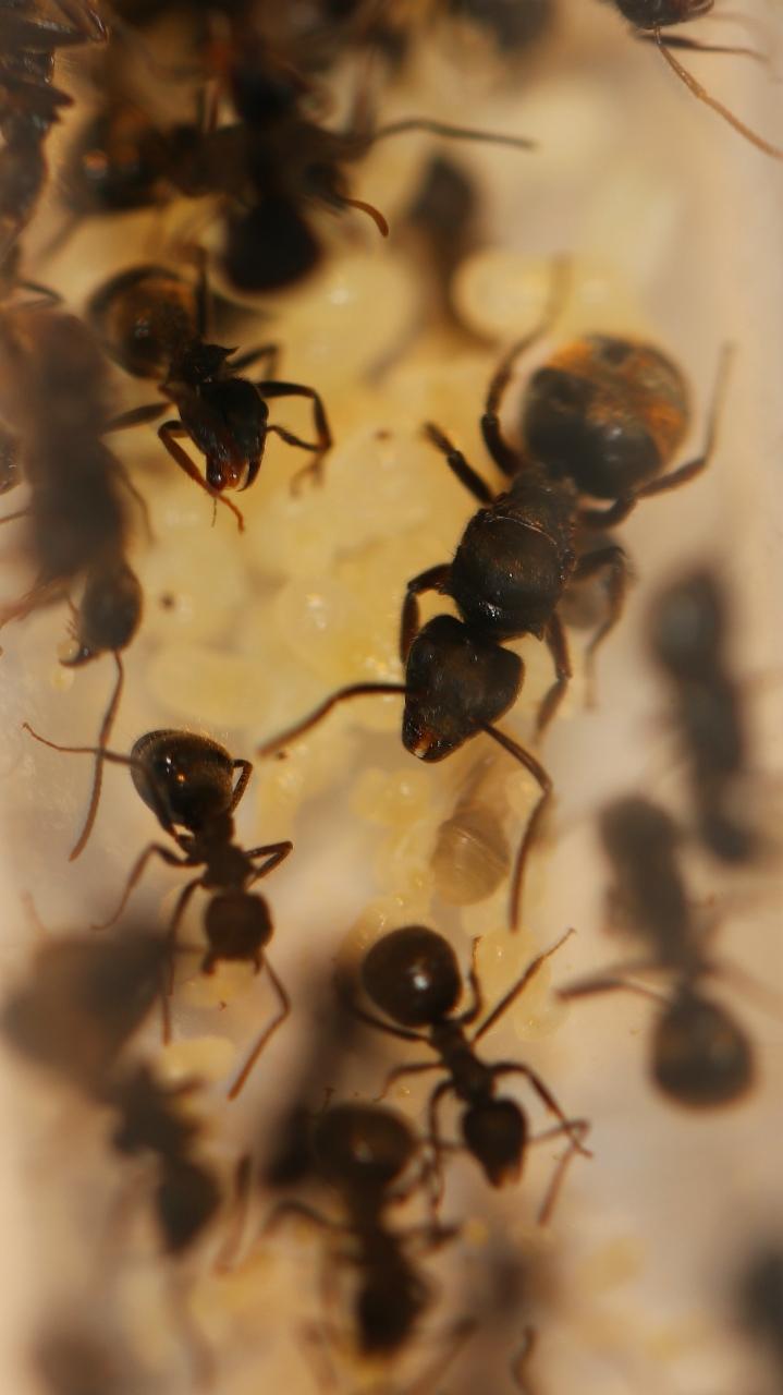 Dolichoderus bispinosus 02 Gyne mit Arbeiterinnen 01