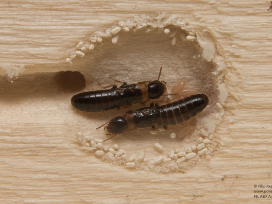 Kalotermes flavicollis- young founding pair