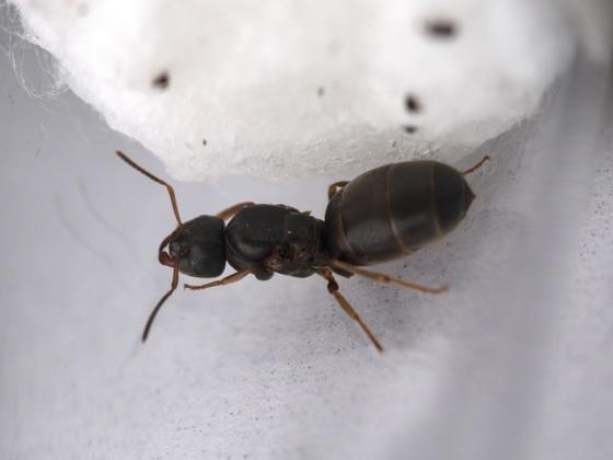 Lasius brunneus Gyne 2