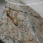Camponotus turkestanus 03 Arbeiterin beim Erkunden der Umgebung 02
