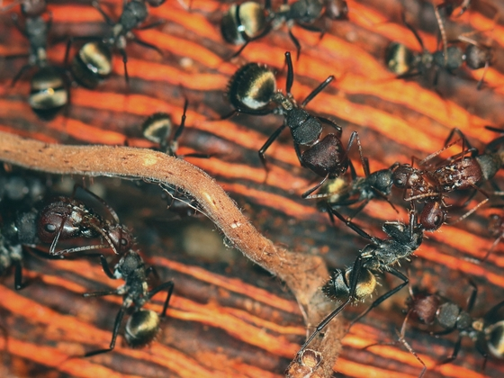 Camponotus sericeus 05 mehrere Arbeiterinnen 02