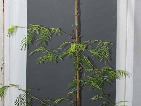 Pseudomyrmex ferrugineus 43 Vachellia cornigera 20191201 11