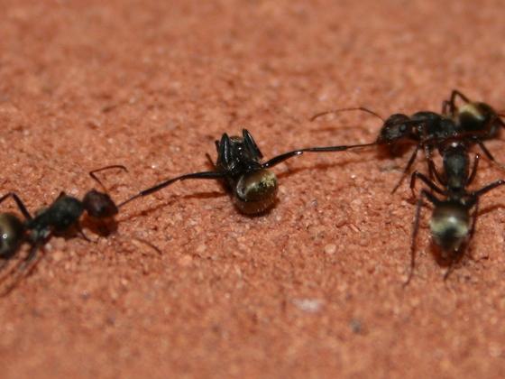 Camponotus sericeus - Strafhandlung 01