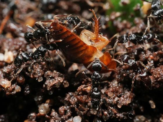 Gnamptogenys striatula 02 Arbeiterinnen mit Futtertier 01