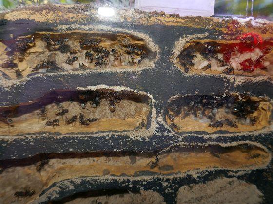 Camponotus fulvopilosus Nesteinsicht 10.10.20