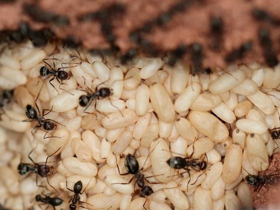 Anoplolepis steingroeveri 05 mehrere Arbeiterinnen im Nest 03