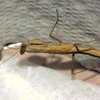 Eine Gottesanbeterin der Gattung Litaneutria