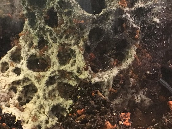 Atta cephalotes Mini Major und Gyne 2 [27.08.19]