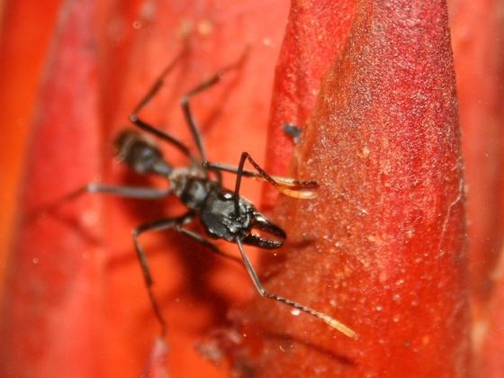 Neoponera apicalis 06 Arbeiterin auf Nahrungssuche 03