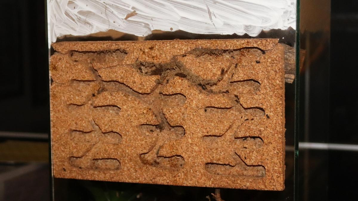 Dolichoderus bispinosus 41 Korknest 04