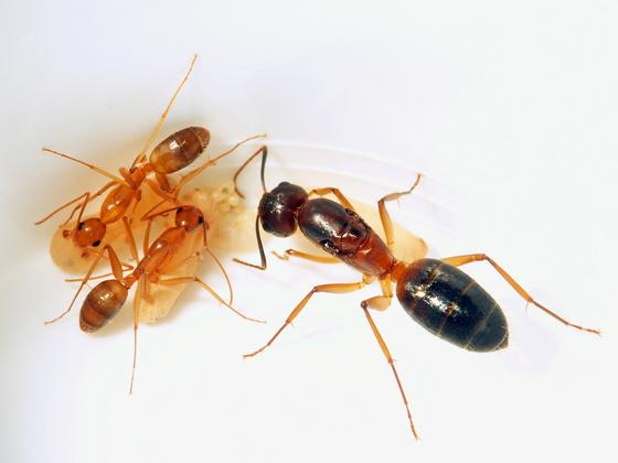 Camponotus cf. festinus - Königin mit ersten Nachkommen