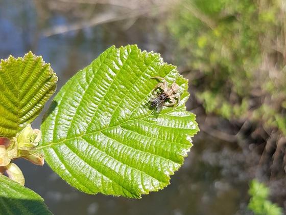 Spinne mit gefangener Fliege