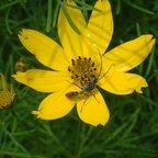 Männchen von Myrmecia mandibularis auf Blüte