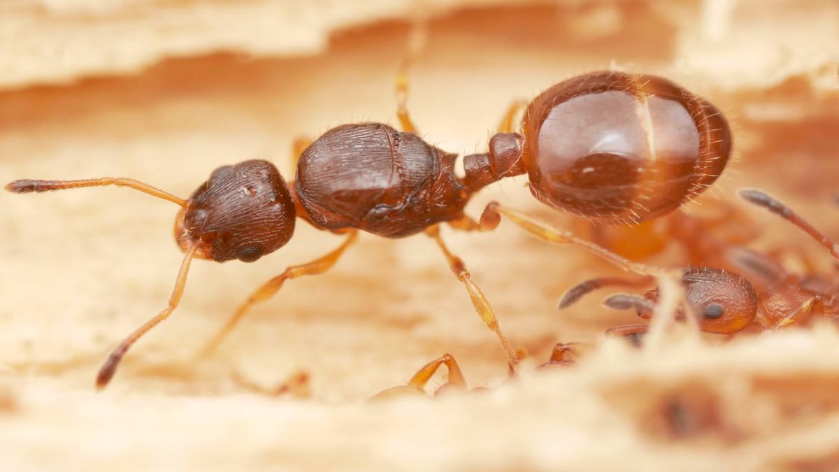 temnothorax tuberum königni
