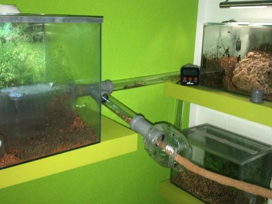Atta cephalotes Perxi