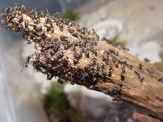 Formica fusca