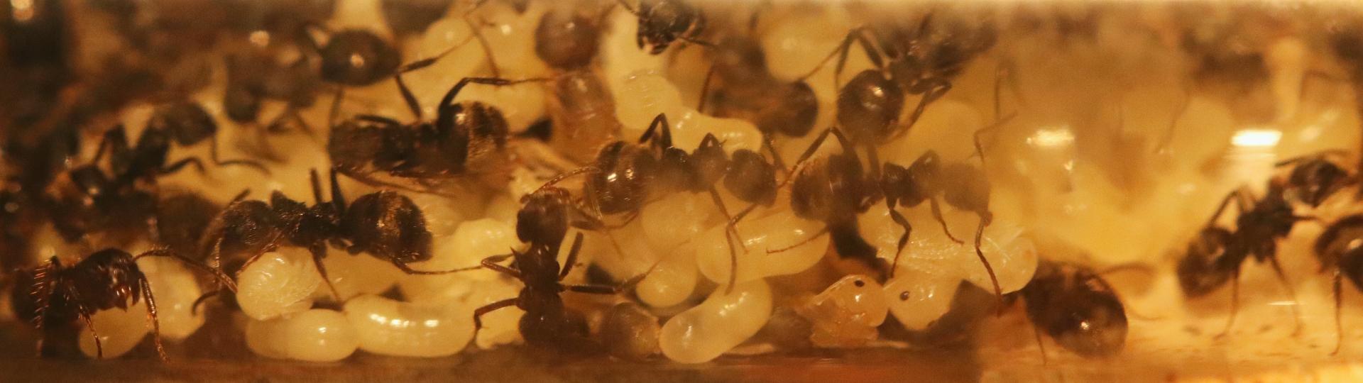 Dolichoderus bispinosus 17 Kolonie im RG 03