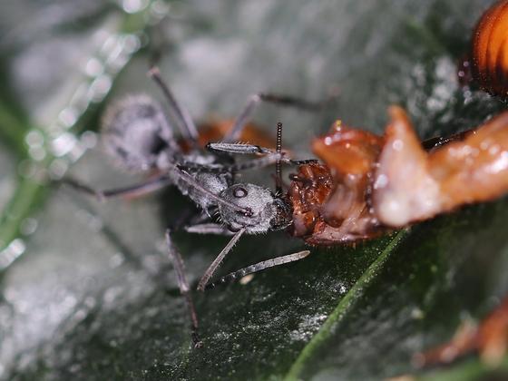 Polyrhachis schistacea 03 Arbeiterin beim Fressen 02