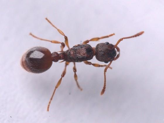 Myrmica scabrinodis 1-4