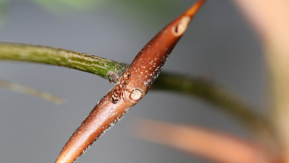 Pseudomyrmex ferrugineus 41 Arbeiterin 14