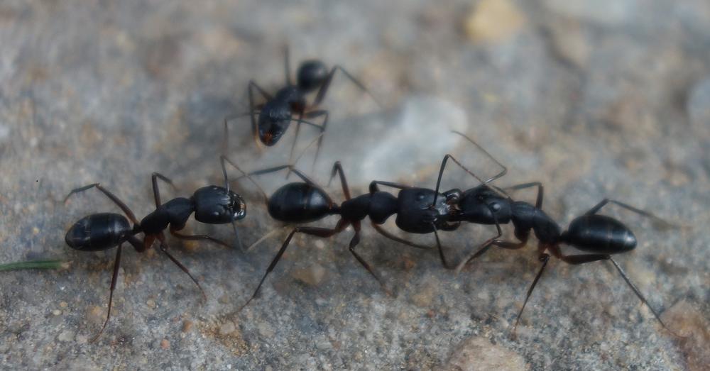 Camponotus sp. Trophallaxis