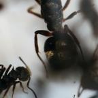 Dolichoderus bispinosus 03 Gyne mit Arbeiterinnen im RG 01