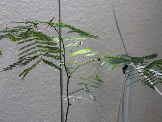 Pseudomyrmex ferrugineus 31 Vachellia cornigera 20180607 07