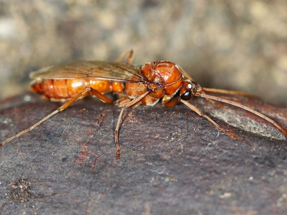 Streblognathus peetersi 32 Männchen 02