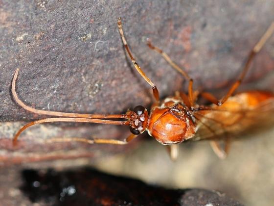Streblognathus peetersi 33 Männchen 03