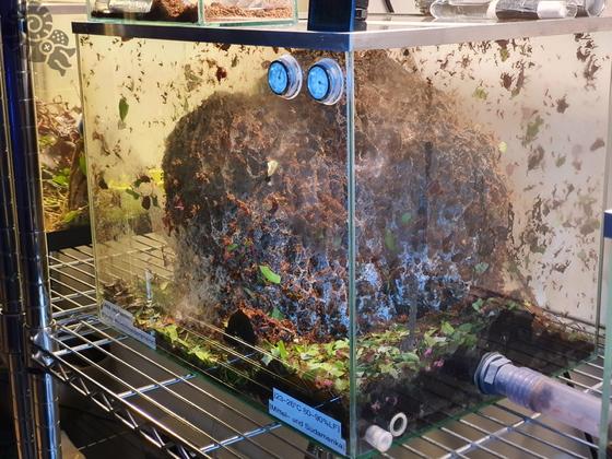 Atta cephalotes Pilzbecken 02 [25.07.20]