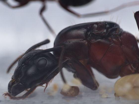 Camponotus ligniperda Königin: Nahaufnahme