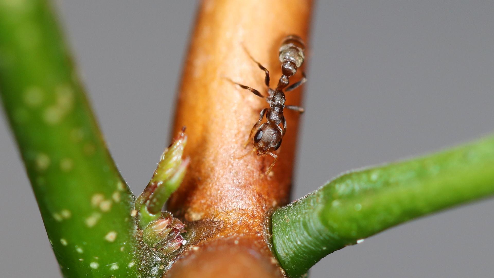 Pseudomyrmex ferrugineus 22 Arbeiterin 08