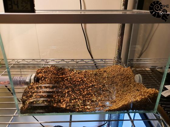 Atta cephalotes Müll [12.01.20]