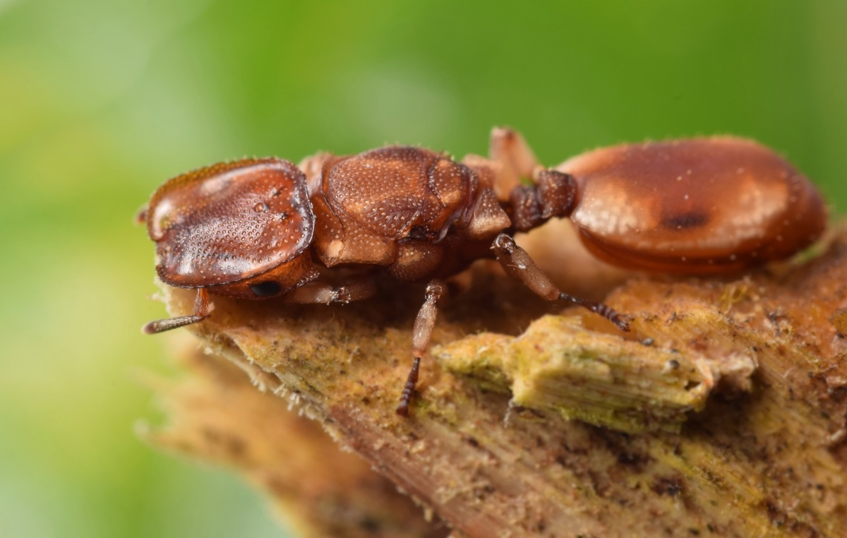 cephalotes queen1