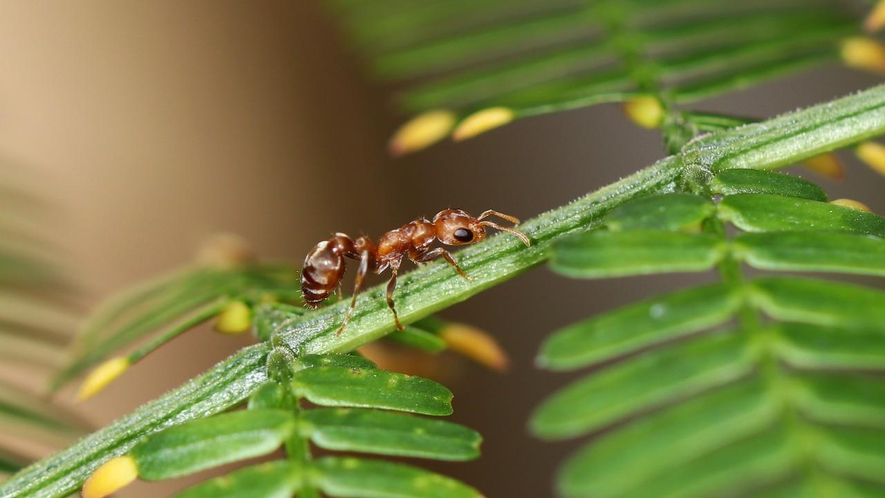Pseudomyrmex ferrugineus 36 Arbeiterin 11