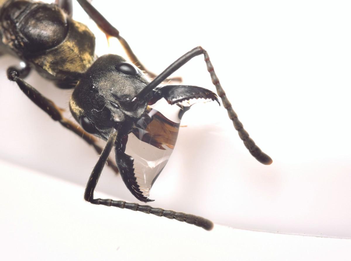Neoponera villosa Königin