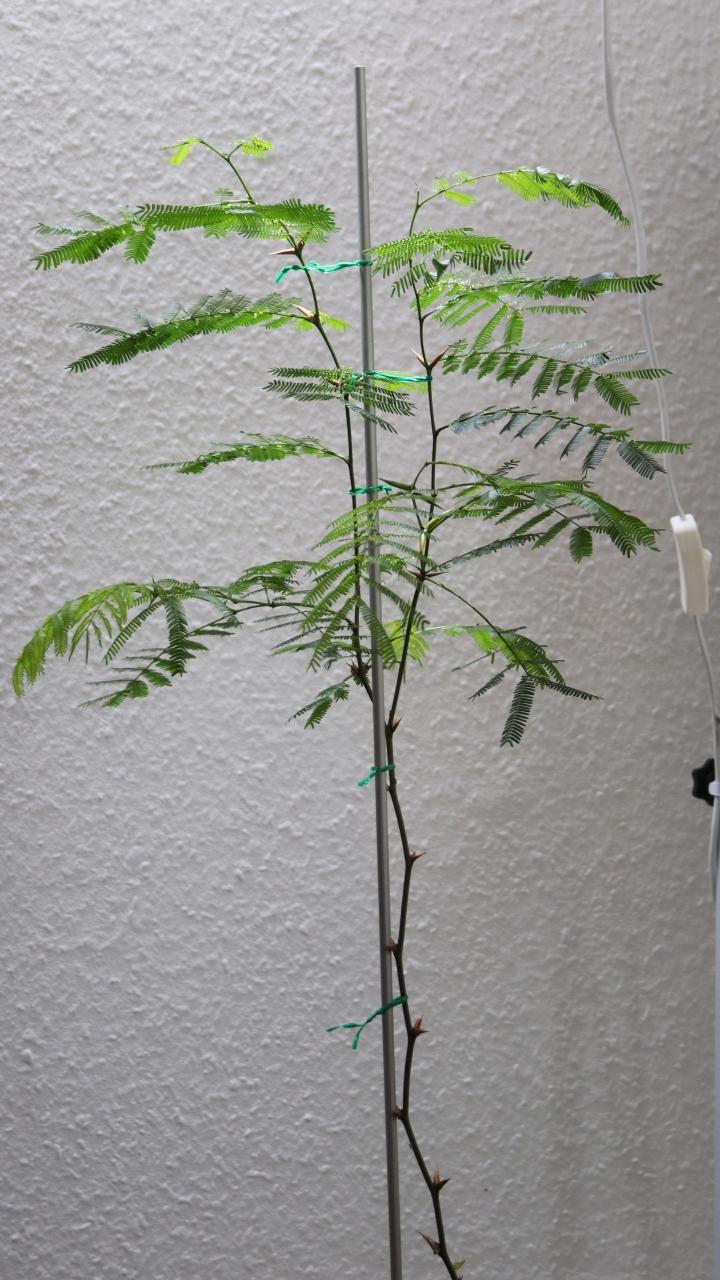 Pseudomyrmex ferrugineus 32 Vachellia cornigera 20180628 08