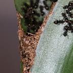 Dolichoderus bispinosus 74 Bromelie mit Materialkonstruktion 04