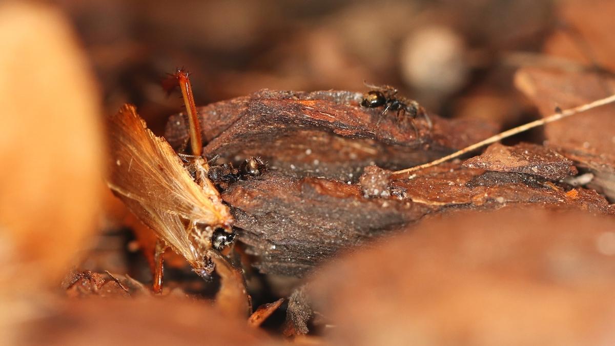 Dolichoderus bispinosus 23 mehrere Arbeiterinnen mit Schabe 02