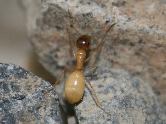 Camponotus turkestanus 07 Major Arbeiterin 01