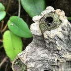 Nesteingang der Polyrhachis