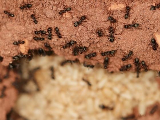 Anoplolepis steingroeveri 03 mehrere Arbeiterinnen im Nest 01