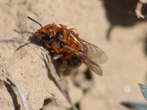 Wildbiene, von Larven des Ölkäfers (Meloe proscarabaeus) besetzt